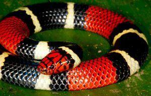 ブラジルサンゴヘビ.jpg